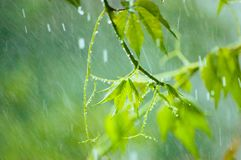 Virginia Creeper in Rain Royalty Free Stock Photo