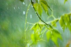 Virginia Creeper in Rain Royalty Free Stock Photo