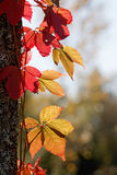 Virginia creeper with red leafs in backlight climbing upp a tree Stock Photos