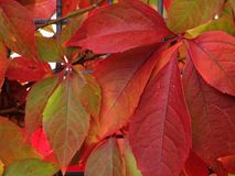 Virginia creeper red leaves at fall Stock Photo