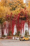 Virginia Creeper rouge photo stock
