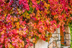 Virginia creeper on stone walls Stock Photography