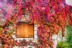 Virginia creeper on stone walls Stock Images