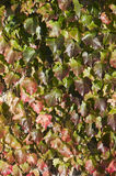 Virginia creeper in the sunlight Stock Images