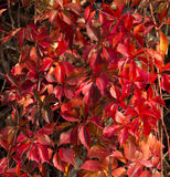 Virginia Creeper Vine  in Autumn Glory Royalty Free Stock Photo
