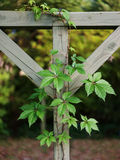 Virginia Creeper Vine on Clothesline Stock Photo