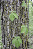 Virginia Creeper Vine Stock Photo