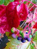 Virginia creeper Stock Images