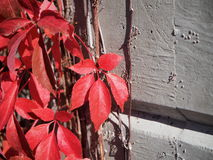 Virginia Creeper Vine Royalty Free Stock Photography
