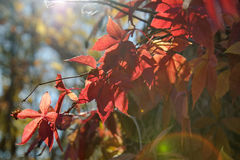 Virginia creeper Stock Photo