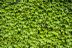 Virginia creeper, boston ivy, parthenocissus Royalty Free Stock Image