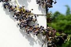 Virginia creeper on the wall. Virginia creeper with leaves and berries on the wall stock photo