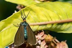 Virginia Ctenucha Ctenucha virginica. A close up of a Virginia Ctenucha resting on a milkweed leaf royalty free stock photos