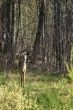 Virginia deer in forest. White, tailed, acapulco, america, animal, antlers, baby, beast, borealis, buck, calf, cervidae, city, utica, cow, creature, critter royalty free stock images