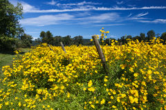 Virginia Fall Yellow Wildflowers Stock Images