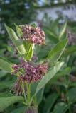 Virginia floreciente silkweed, polilla de abeja en la flor, syriaca del asclepias, milkweed común Foto de archivo