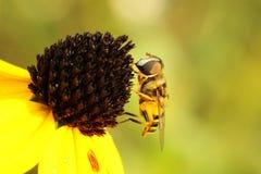 Virginia Flower Fly (Milesia Virginiensis) Stock Images