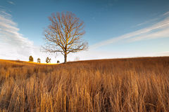 Virginia Grassland Lone Tree at Manassas National Battlefield Park Royalty Free Stock Image