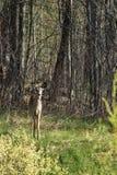 Virginia hjortar i skog royaltyfria bilder