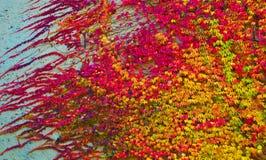 Virginia-Kriechpflanze lizenzfreie stockbilder