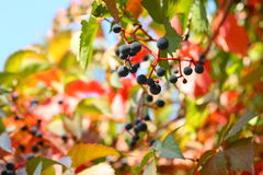 Virginia-Kriechpflanze lizenzfreie stockfotografie