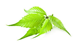 Virginia-Kriechpflanze. Stockfotografie
