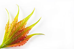 Virginia-Kriechpflanze. Lizenzfreie Stockfotografie