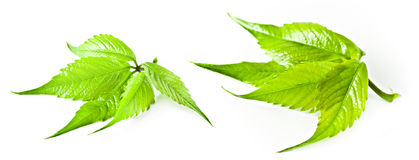 Virginia-Kriechpflanze. Lizenzfreie Stockfotos