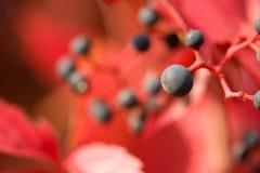 Virginia-Kriechpflanze lizenzfreies stockbild