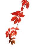Virginia-Kriechpflanze stockbild