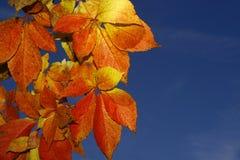 Virginia-Kriechpflanze Stockbilder