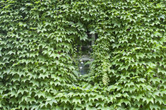 Virginia-Kriechpflanze bedeckte Wand mit Fenster lizenzfreies stockbild