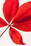 Virginia-Kriechpflanze-Blatt Stockbilder
