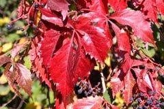 Virginia-Kriechpflanze im Herbst Lizenzfreie Stockbilder