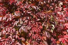 Virginia-Kriechpflanze im Herbst Lizenzfreie Stockfotografie