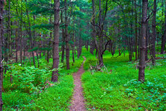 Virginia Lush Forest Trail. Walking trail in a forest, line with lush green vegetation and tall slender trees. Photographed at the Rust Manor Nature Sanctuary in stock photo