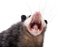 The Virginia opossum, Didelphis virginiana, on white Royalty Free Stock Photography