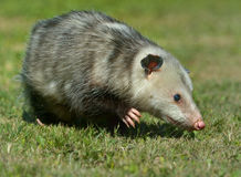 Virginia Opossum Royalty Free Stock Photography