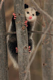 Virginia Opossum Clinging To Tree Stock Photos