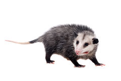 The Virginia opossum, Didelphis virginiana, on white Royalty Free Stock Image