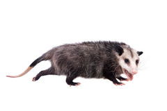 The Virginia opossum, Didelphis virginiana, on white Royalty Free Stock Photo