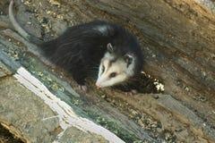 Virginia Opossum em um log imagem de stock royalty free