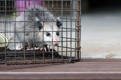 Virginia Opossum juvenile in humane raccoon cage trap. Baby North American Opossum caught in box trap. Didelphis virginianus. Monroe, Walton County, Georgia USA royalty free stock photo