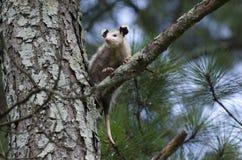 Virginia Opossum juvenile in tree Stock Images