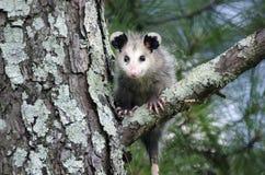 Virginia Opossum juvenile in tree Royalty Free Stock Photo