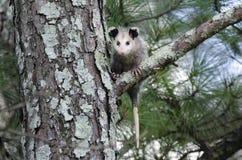 Virginia Opossum juvenile in tree Stock Photo
