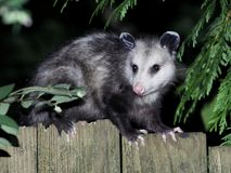 Virginia Opossum på natten Fotografering för Bildbyråer