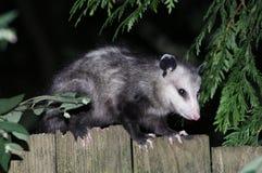 Virginia Opossum sur une barrière Images stock