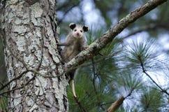Virginia Opossum tonåring i träd Royaltyfria Bilder