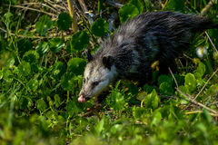 Virginia opossum, viera wetlands Stock Photos